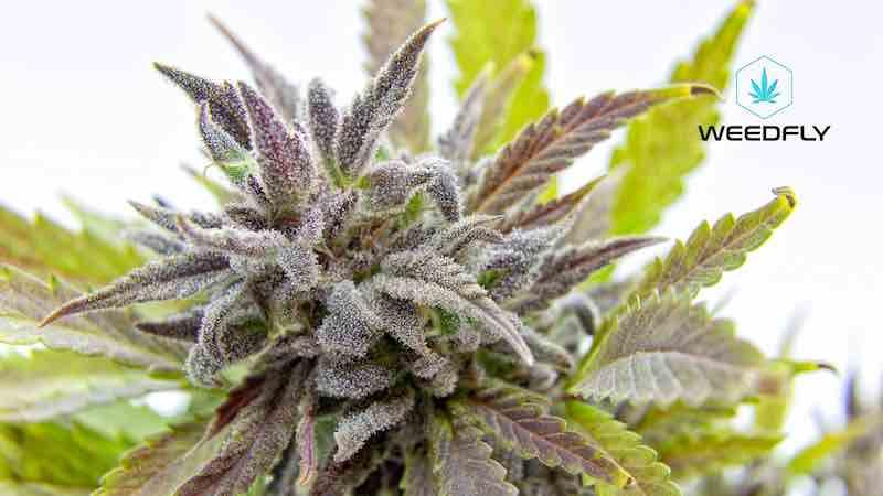 Riconoscere sesso Cannabis